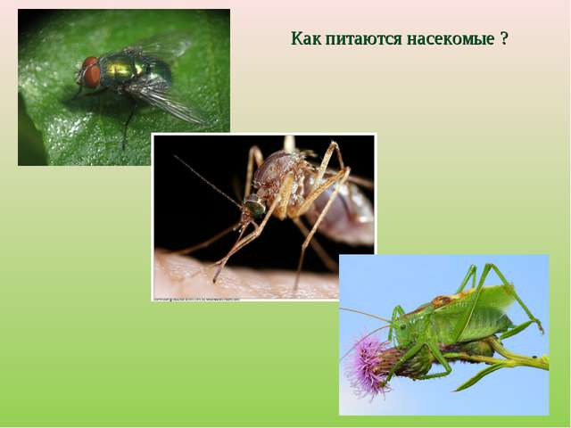 Как питаются насекомые ?