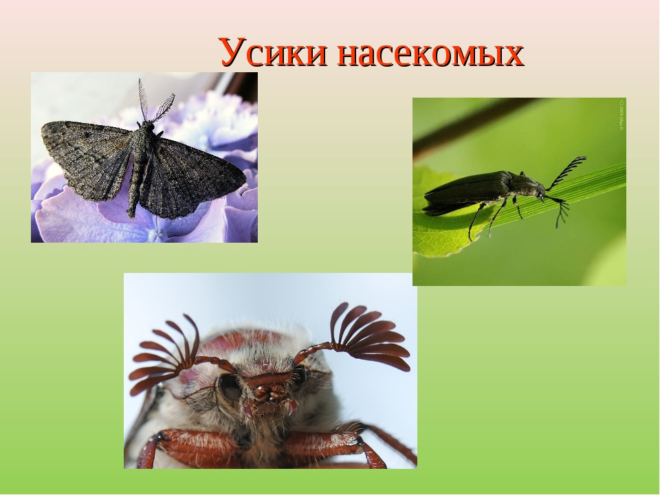Усики насекомых
