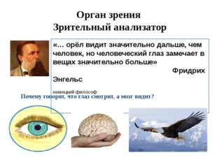 Орган зрения Зрительный анализатор Почему говорят, что глаз смотрит, а мозг в