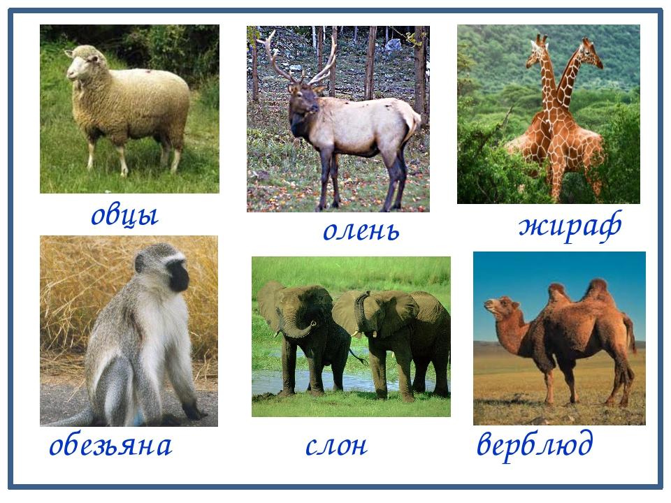 овцы жираф олень обезьяна слон верблюд