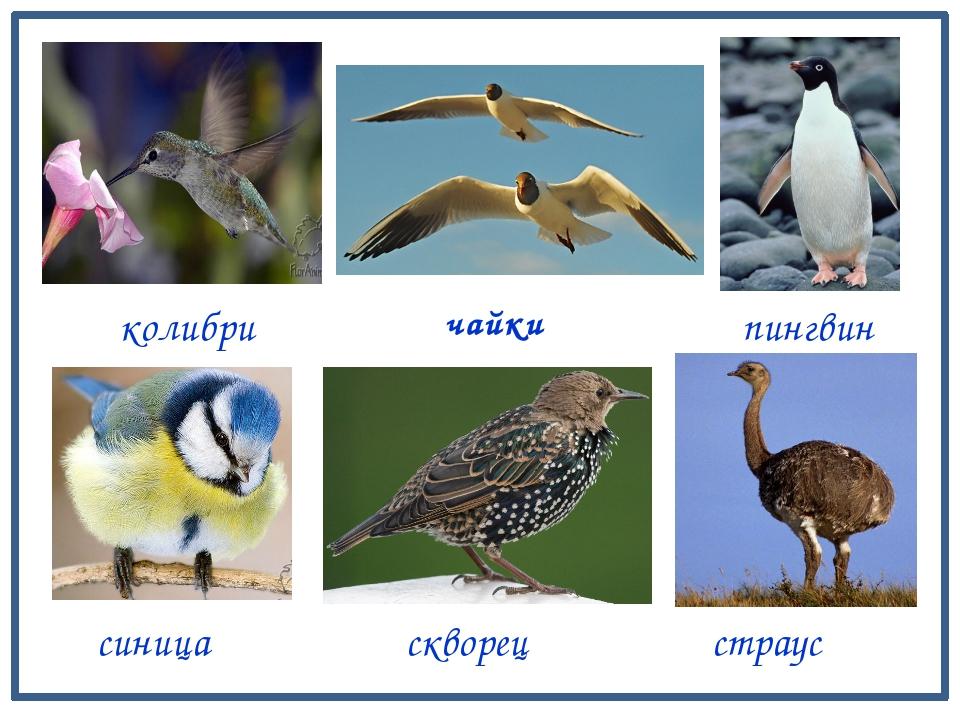 колибри синица чайки скворец страус пингвин