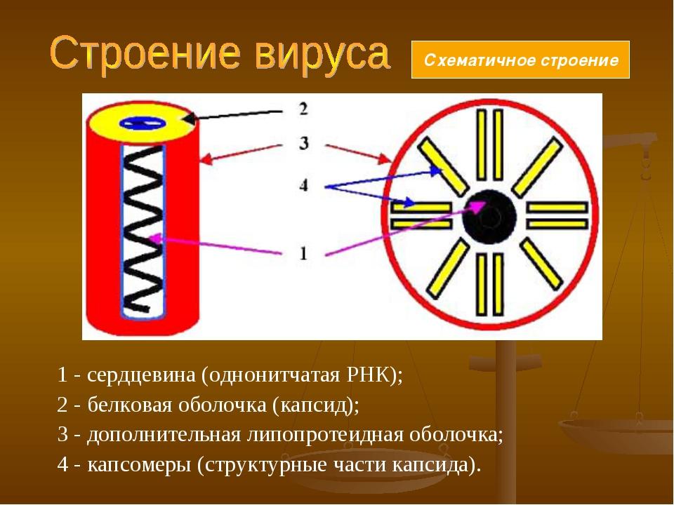 1 - сердцевина (однонитчатая РНК); 2 - белковая оболочка (капсид); 3 - дополн...