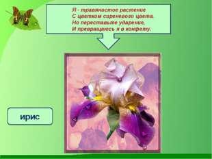 Я - травянистое растение С цветком сиреневого цвета. Но переставьте ударение