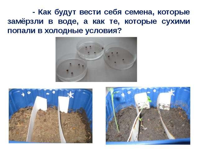 - Как будут вести себя семена, которые замёрзли в воде, а как те, которые су...