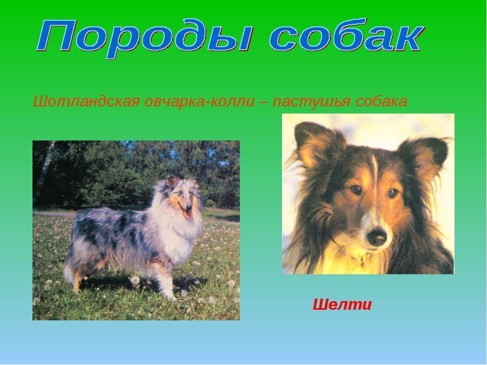 Шотландская овчарка-колли – пастушья собака Шелти
