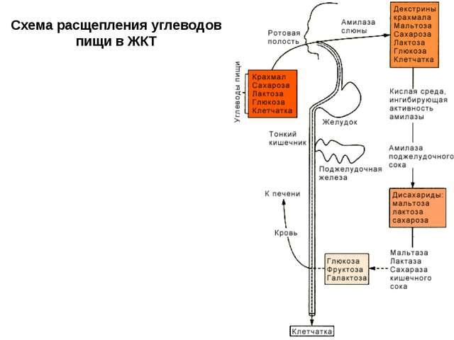 Схема расщепления углеводов пищи в ЖКТ