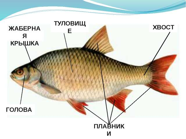 Плавники и хвост помогают рыбам плавать. Хвостовой плавник толкает рыбу впер...