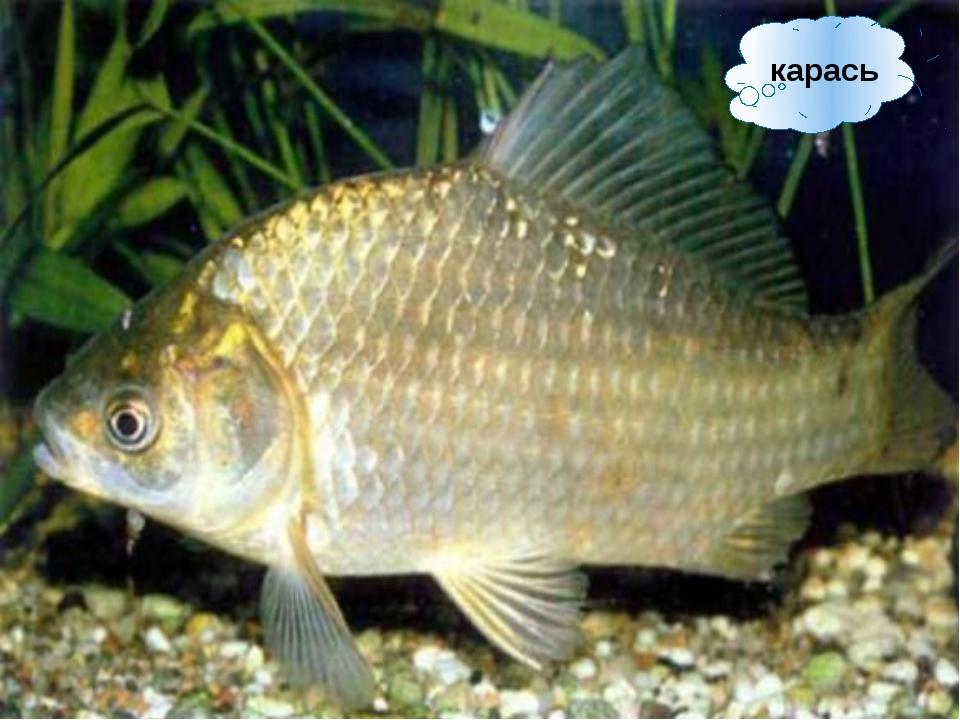 краснопёрка Почему эта рыба так называется?