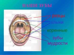 НАШИ ЗУБЫ резцы клыки коренные зубы мудрости