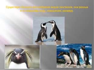 Существует большое разнообразие видов пингвинов, они разные и по внешнему вид