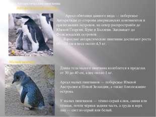 Род:Антарктические пингвины Вид:Антарктический пингвин Вид:Малый пингвин Д