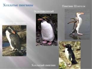 Хохлатые пингвины Большой пингвин Хохлатый пингвин Пингвин Шлегеля Золотовол