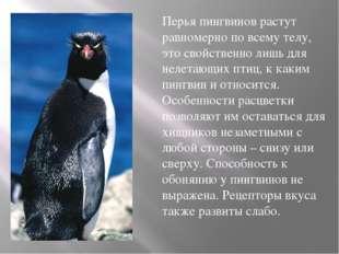 Перья пингвинов растут равномерно по всему телу, это свойственно лишь для не