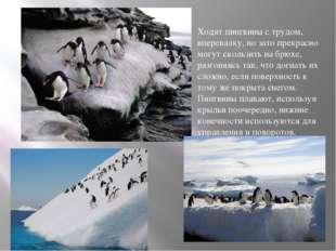 Ходят пингвины с трудом, вперевалку, но зато прекрасно могут скользить на бр