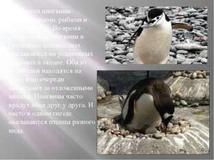Питаются пингвины ракообразными, рыбами и мягкотелыми. Во время размножения