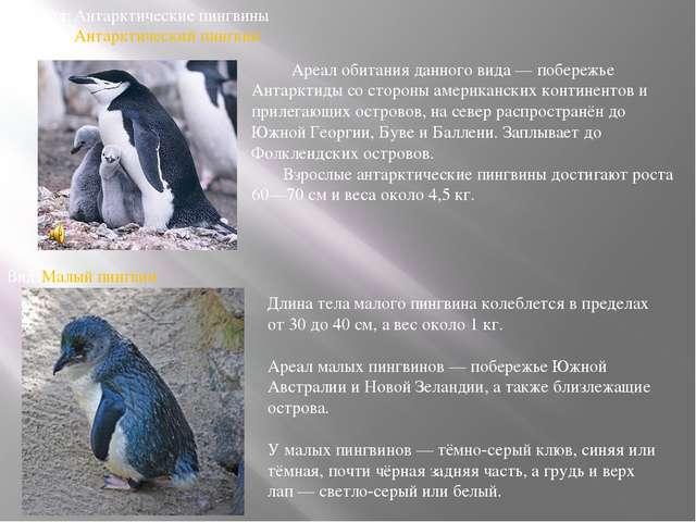 Род:Антарктические пингвины Вид:Антарктический пингвин Вид:Малый пингвин Д...