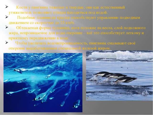 Кости у пингвина тяжелые и твердые, они как естественный утяжелитель позволя...