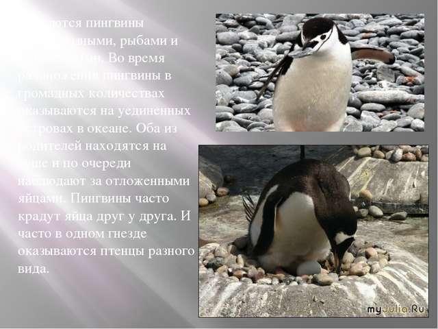 Питаются пингвины ракообразными, рыбами и мягкотелыми. Во время размножения...