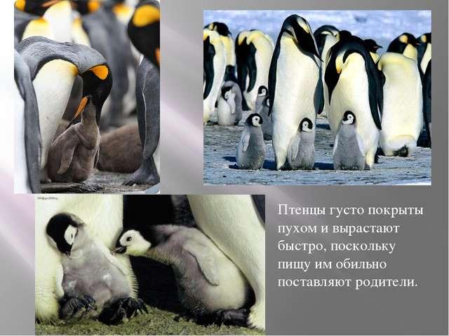 Птенцы густо покрыты пухом и вырастают быстро, поскольку пищу им обильно пос...