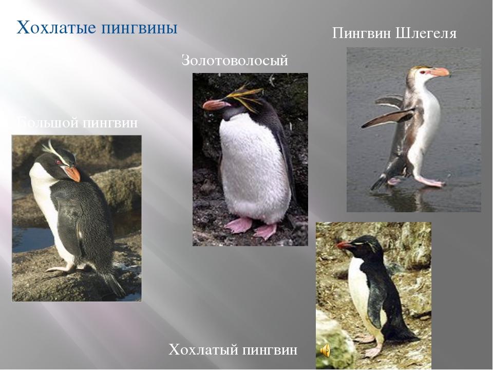 Хохлатые пингвины Большой пингвин Хохлатый пингвин Пингвин Шлегеля Золотовол...