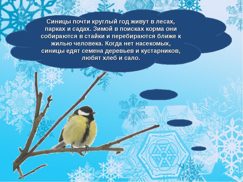 Синицы почти круглый год живут в лесах, парках и садах. Зимой в поисках корма...