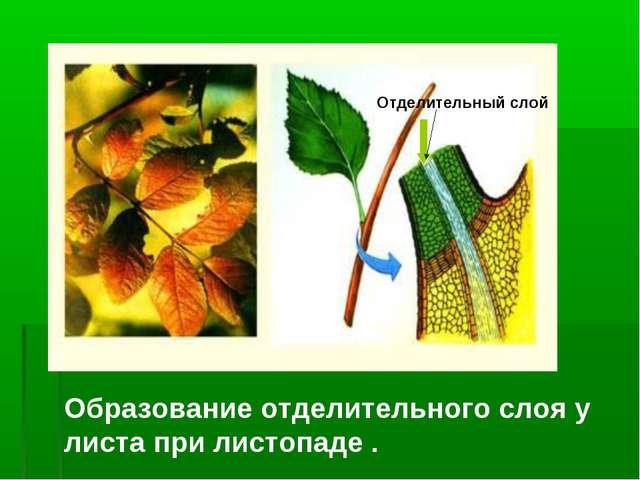 Образование отделительного слоя у листа при листопаде . Отделительный слой
