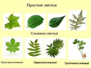 Простые листья Сложные листья Пальчатосложный Перестосложный Тройчатосложный *