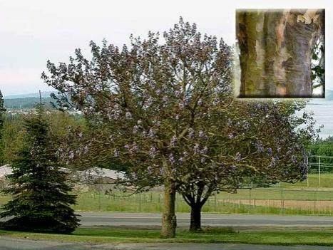 Железное дерево Кавказ