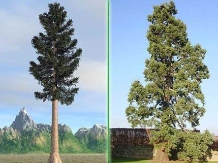 Мамонтово дерево 3-4тыс