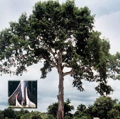Сейба-шерстяное дерево