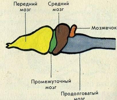 Головной мозг сложнее, чем у земноводных - Картинка 14160/19