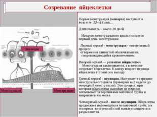 Созревание яйцеклетки Первая менструация (менархе) наступает в возрасте 12—1