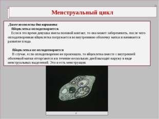 Менструальный цикл Далее возможны два варианта: Яйцеклетка оплодотворяется.