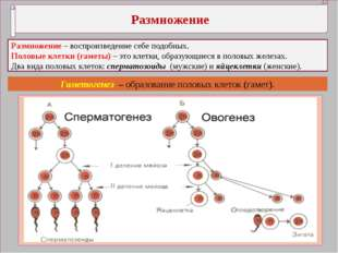 Размножение Размножение – воспроизведение себе подобных. Половые клетки (гам