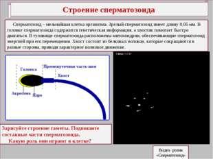 Строение сперматозоида Сперматозоид – мельчайшая клетка организма. Зрелый сп