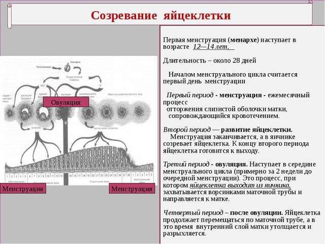 Созревание яйцеклетки Первая менструация (менархе) наступает в возрасте 12—1...