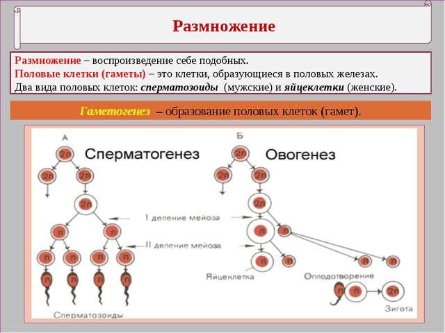 Размножение Размножение – воспроизведение себе подобных. Половые клетки (гам...