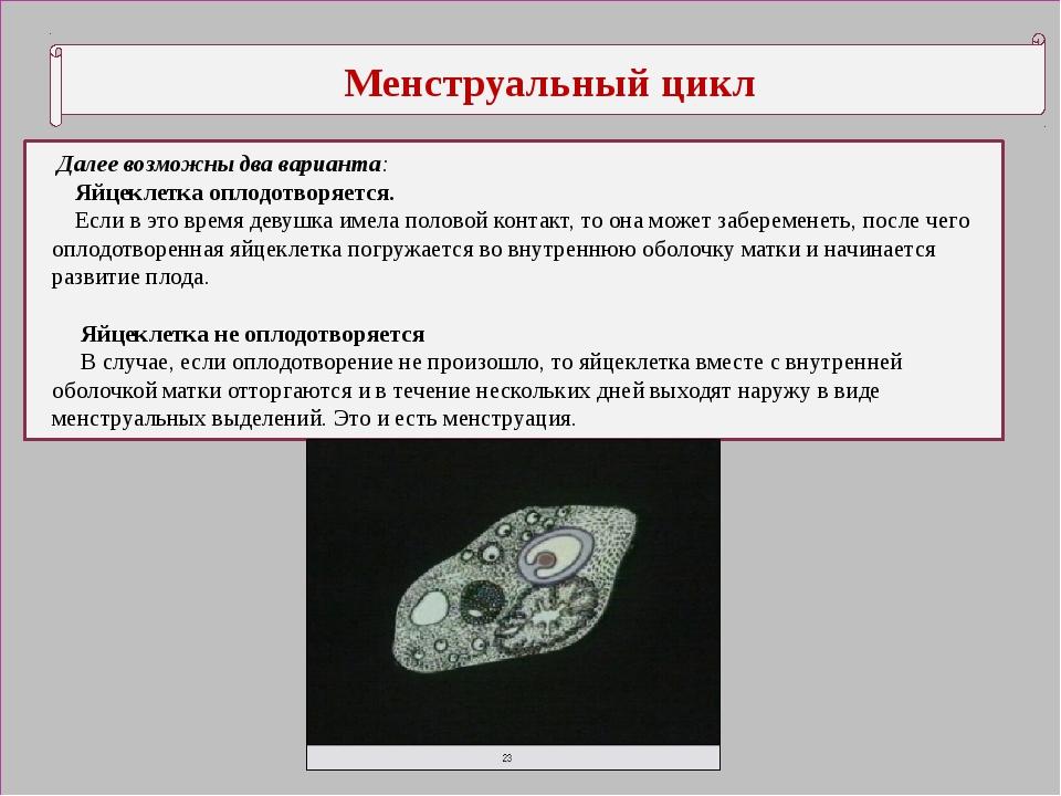 Менструальный цикл Далее возможны два варианта: Яйцеклетка оплодотворяется....