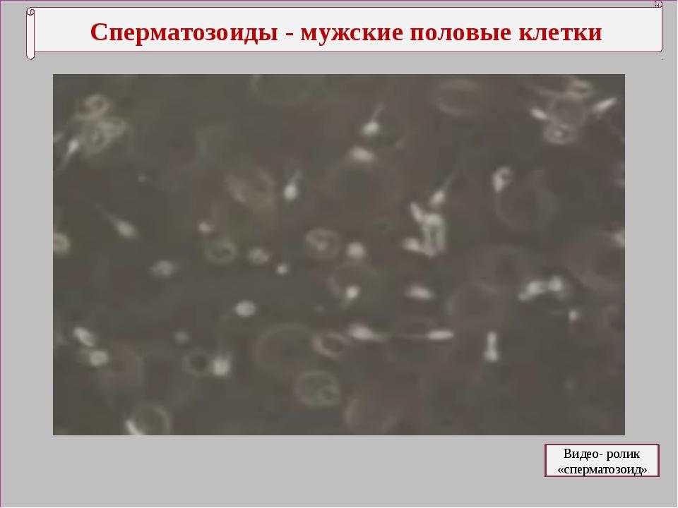 Сперматозоиды - мужские половые клетки Видео- ролик «сперматозоид»