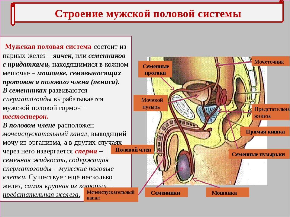 Строение мужской половой системы Мужская половая система состоит из парных ж...