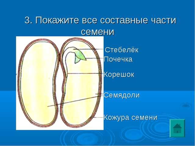 3. Покажите все составные части семени Семядоли Кожура семени Корешок Стебел...