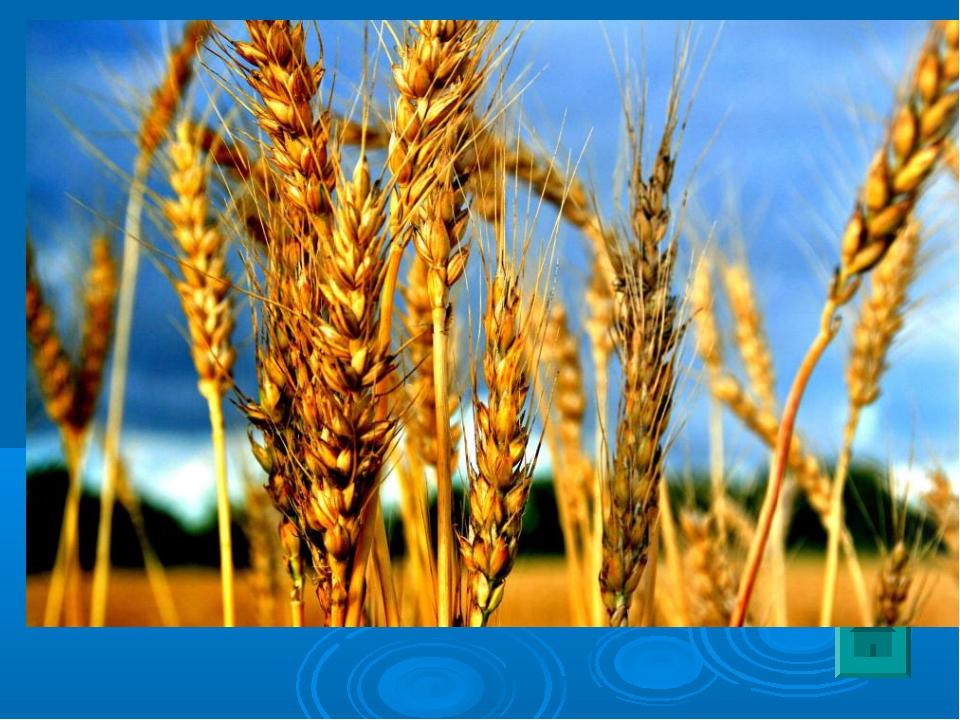 3 Родина этого растения – Закавказье, Турция. Это одна из древнейших культур....