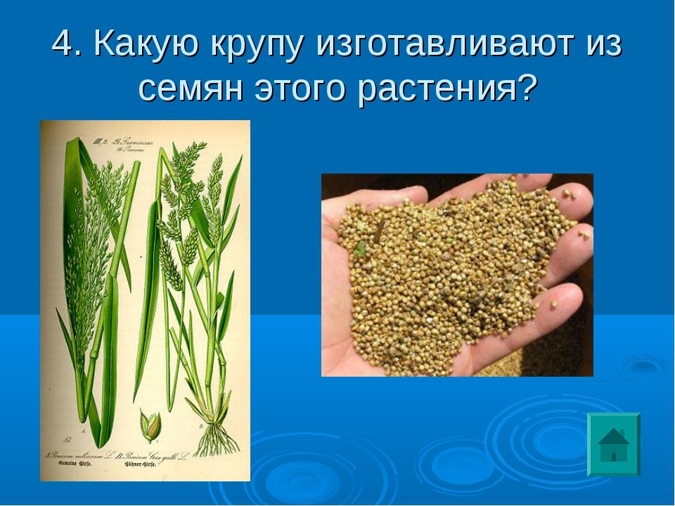 4. Какую крупу изготавливают из семян этого растения?