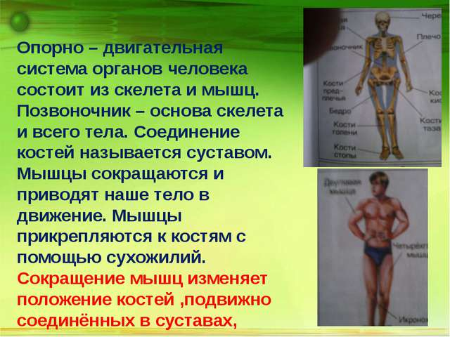 Опорно – двигательная система органов человека состоит из скелета и мышц. По...