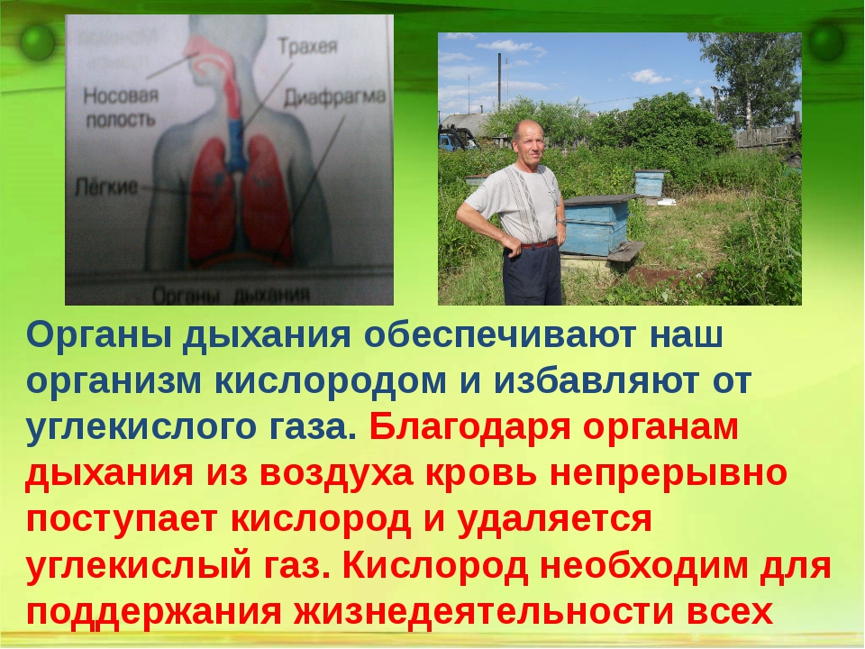 Органы дыхания обеспечивают наш организм кислородом и избавляют от углекисло...