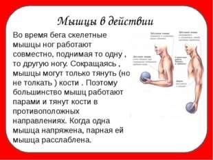 Мышцы в действии Во время бега скелетные мышцы ног работают совместно, подни