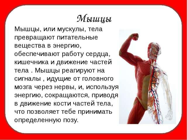 Мышцы Мышцы, или мускулы, тела превращают питательные вещества в энергию, об...