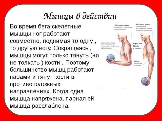 Мышцы в действии Во время бега скелетные мышцы ног работают совместно, подни...