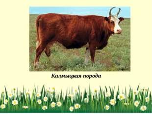 Калмыцкая порода