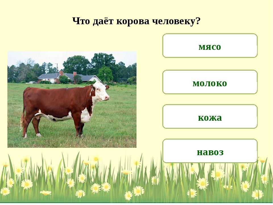 Что даёт корова человеку? молоко мясо навоз кожа